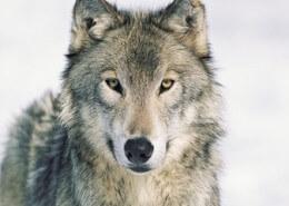El lobo cuidando las ovejas.rafaelferrer.es